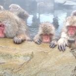 It's a way of life... Snow Monkeys, Jigokudani Onsen