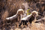 Cheetah cubs being staunch