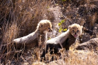 Cheetah cubs being staunch