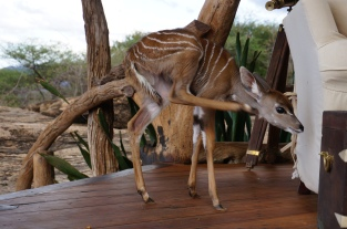 Rescued Kudu