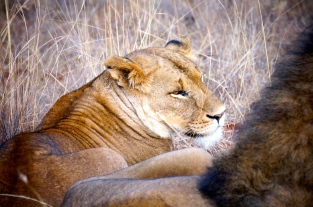 Lioness 10m from the Landrover